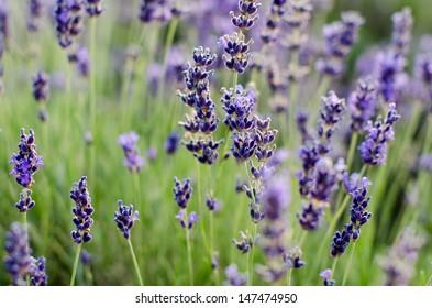 Lavender background, desktop wallpaper