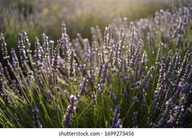 Lavender background partially blured at sunset time in France