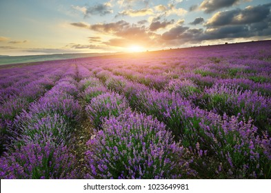 Lavender beautiful meadow. Agricultural farm. Spring time. Nature composition.
