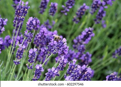 Lavender and the bee