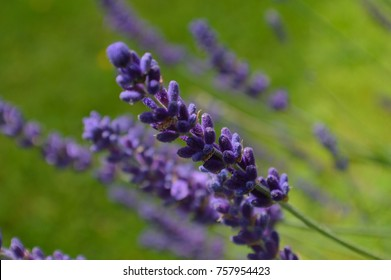 lavender blomm macro