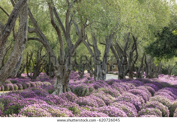 Lavender Bloom Amongst Olive Trees Stock Photo Edit Now 620726045