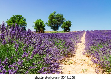 Lavender blooming field hill with trees and summer blue sky, France