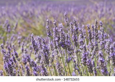 Lavender in blossom background