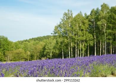 Lavender blossom in summer, Japan