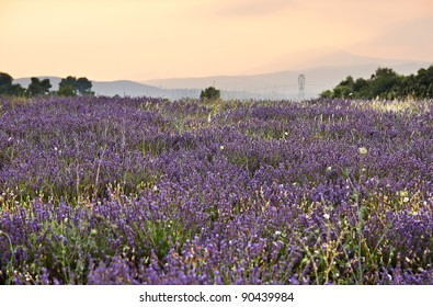 Lavender blossoms in Lavandula Officinalis plantation in Southern France, French Provence