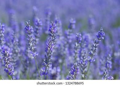 Lavender blue flowers close up