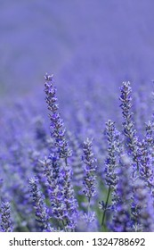 Lavender blue flowers detail