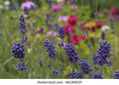 Lavender, bluish-purple flowers