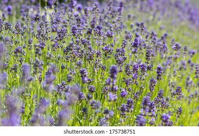 lavender, British wild flower