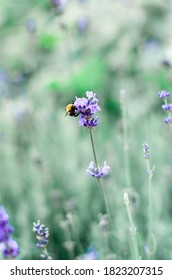 Lavender and bumble bee in garden