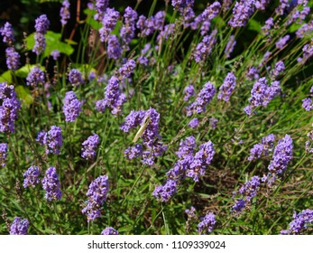 Lavender bush from above, with white butterfly. The flower latin name is Lavandula.