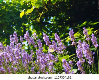 Lavender bush, in the background with grape arbor. Behind the flower butterfly wings visible.