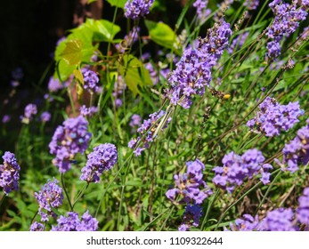 Lavender bush with flying bee.