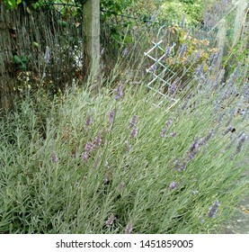Lavender bush, in the foreground of a English country garden.