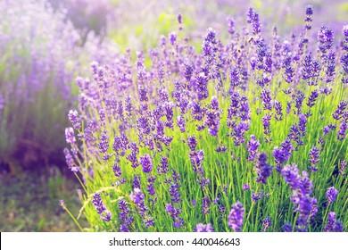 Lavender bush in full bloom