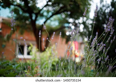 Lavender bush in the home garden