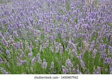 lavender bush on the field