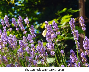 Lavender bush with white butterfly. The flower latin name is Lavandula.