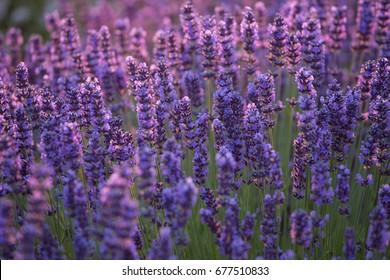 Lavender bushes