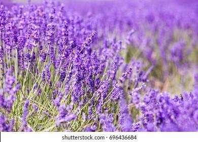 Lavender bushes close up, sunny summer day background