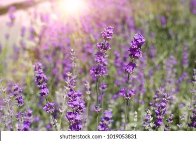 The lavender bushes closeup. Blooming flowers on evening light. Lavender bush closeup. Blooming lavender. Provence region of france.