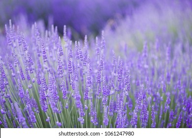 Lavender bushes closeup on evening light. Purple flowers of lavender. Provence region of france.