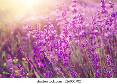 Lavender bushes closeup on sunset. Sunset gleam over purple flowers of lavender. Sun light on the left side and bushes on the right. Provence region of france.
