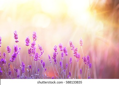 Lavender bushes closeup on sunset. Sunset gleam over purple flowers of lavender. Provence region of france.