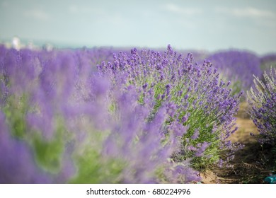 Lavender bushes closeup on sunset. Sunset gleam over purple flowers of lavender. Bushes on the center of picture