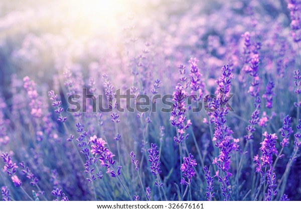 Lavender bushes closeup on sunset. Sunset gleam over purple flowers of lavender. Bushes on the center of picture and sun light on the left. Provence region of france.