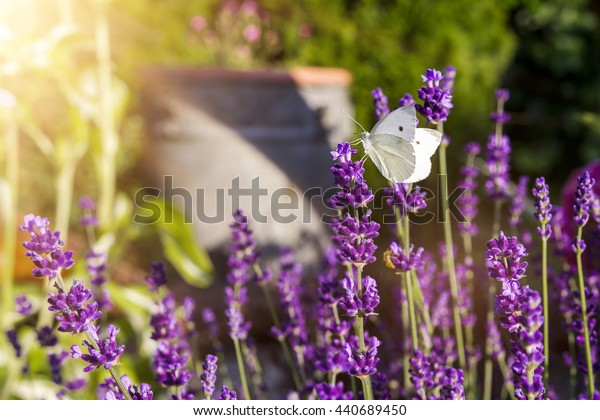 Lavender with butterfly and sunshine