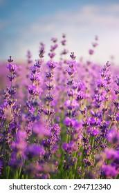 Lavender closeup. Composition of nature,