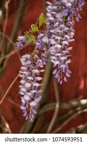 Lavender colored Wisteria against a red wall