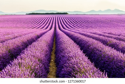 Lavender cultivation in France