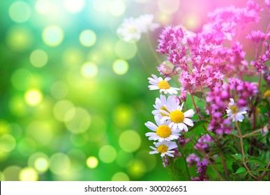 Lavender and daisies in a pretty spring garden.