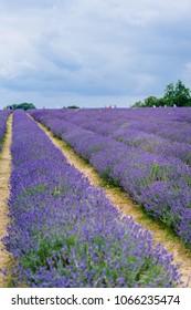 Lavender in Lavender Farm
