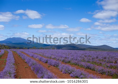 Lavender Farm Full Bloom Stock Photo (Edit Now) 1016286301