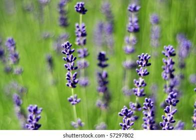 Lavender Farm, Hillsboro, Oregon