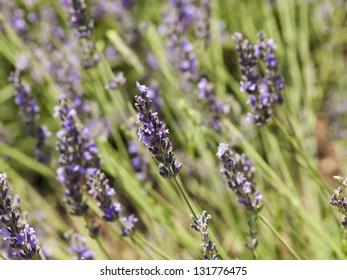 Lavender farm in Palisade, Colorado.
