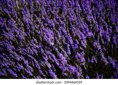 Lavender Farm in Provence