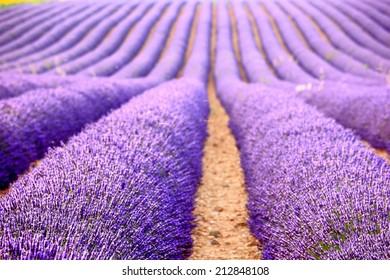 lavender farm at Provence, France