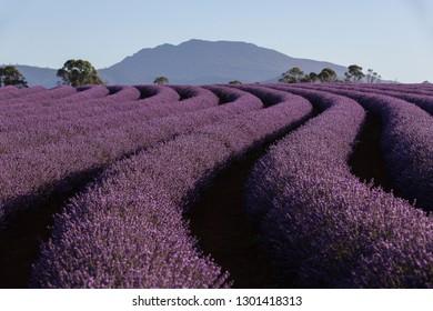 Lavender farming at Bridestowe, Tasmania