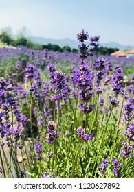 a Lavender Festival