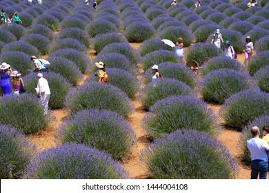 "lavender festival. ""Isparta / Kuyucak / Turkey"" lavender fields. 06.07.2019"