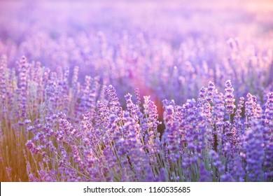 Lavender field aerial view. Purple lavender garden. Spa essential oil of beautiful herbs.