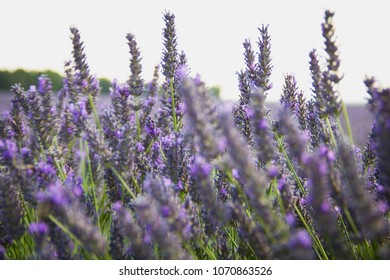 Lavender field in Aix en Provence, France