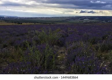 Lavender field, Bakhchisaraysky district,  Crimea
