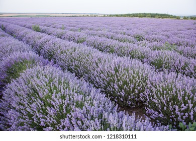 Lavender field with beautiful purple and green colors