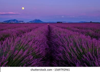 Lavender field in bloom, Moonrise. Plateau de Valensole, Provence, France.
